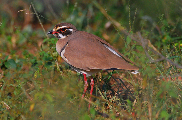 bronzed-winged courser