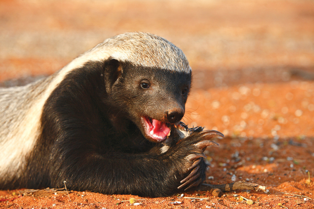 15 Reasons Why Honey Badgers Are Awesome | AFKTravel