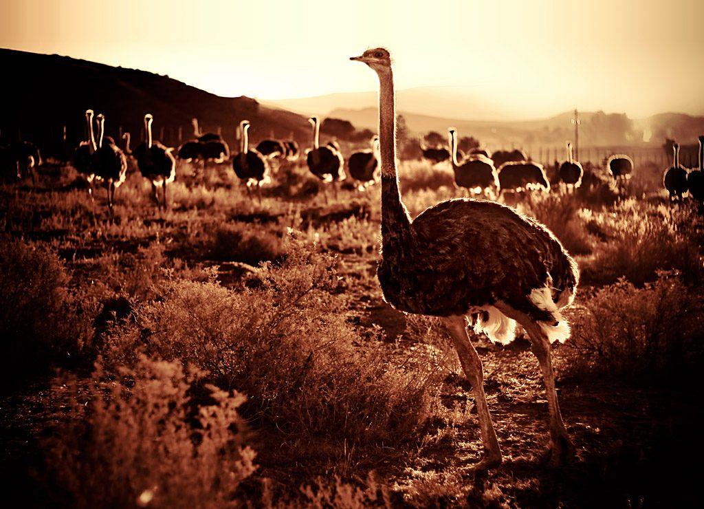 ostrich oudtshoorn