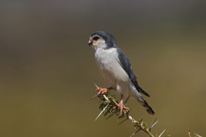 pygmy falcon samburu