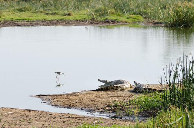 crocodile bird