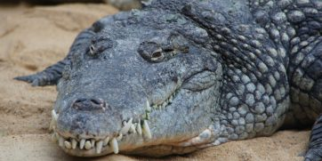15 Things You Didn't Know About Nile Crocodiles
