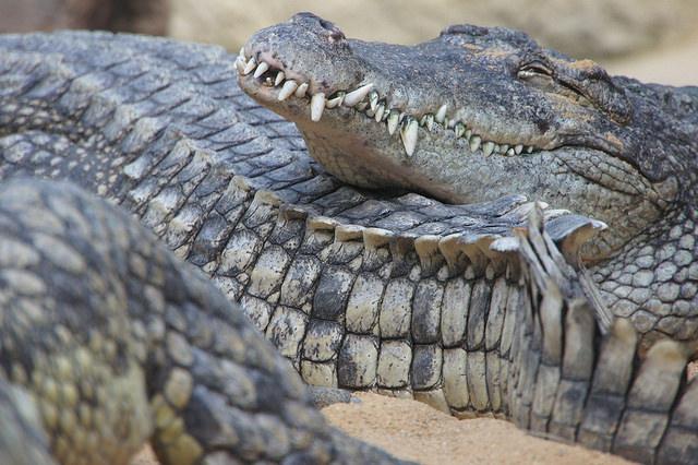 smiling crocodile