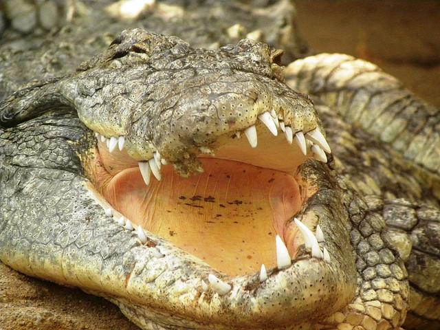 crocodile victims
