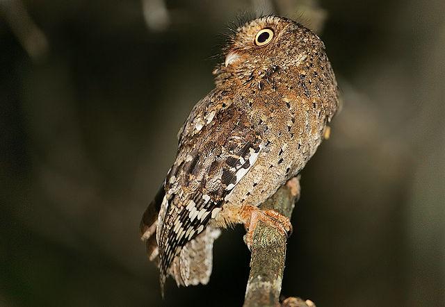 Sokoke Scops Owl (Steve Garvie/Flickr/Attis1979/Wikimedia Commons)