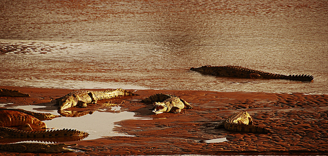 basking crocodile