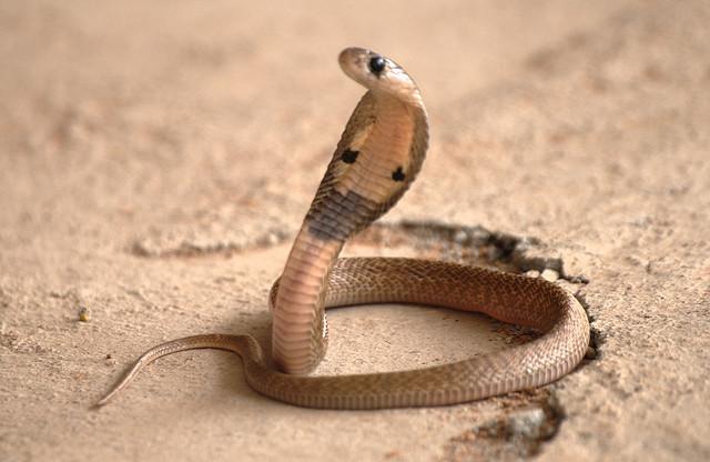 cobra safer