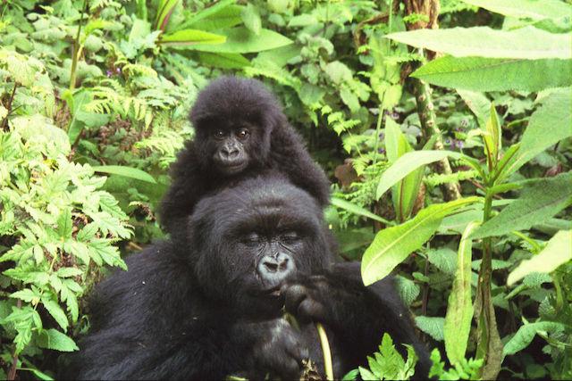 Gorilla trekking tour in cameroon