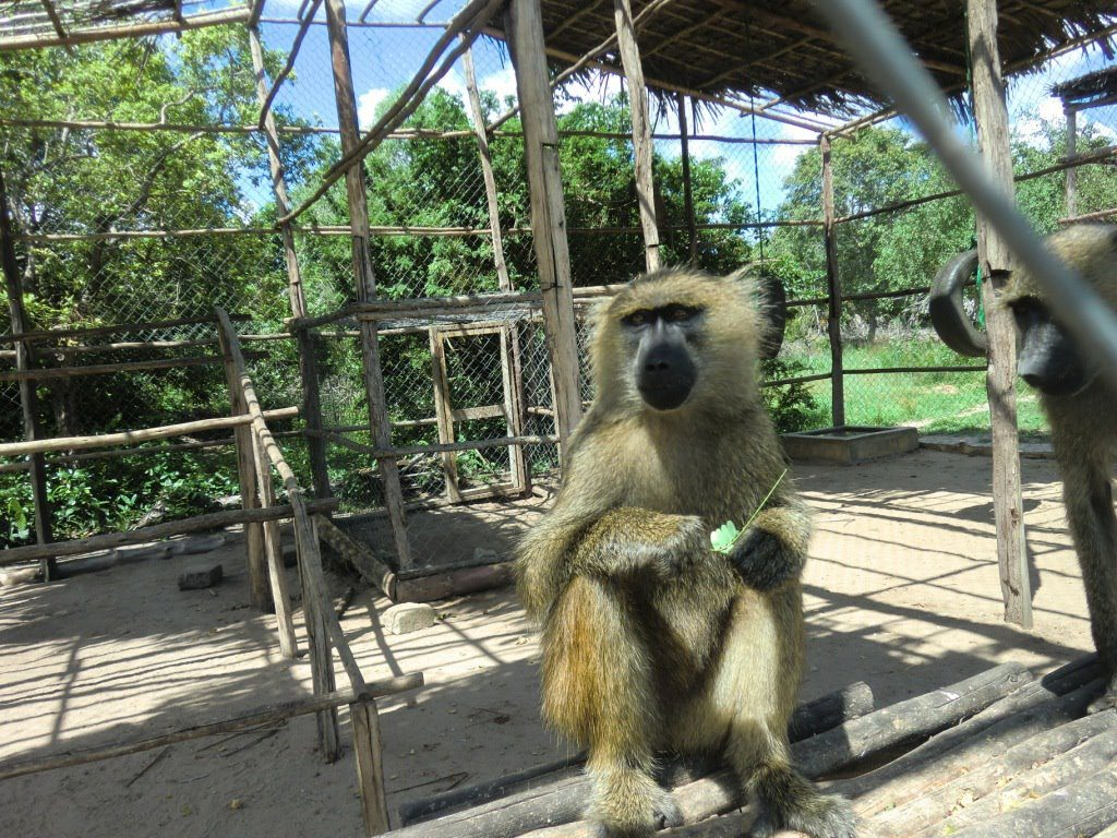 Monkey at Dar es Salaam Zoo