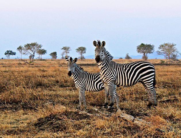 Zebras in Mikumi park