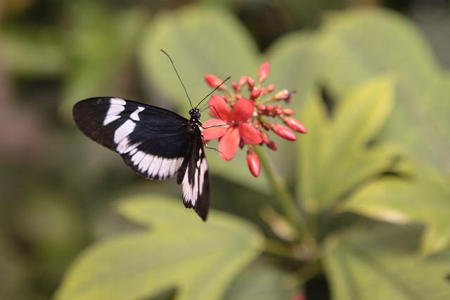 audubon butterfly