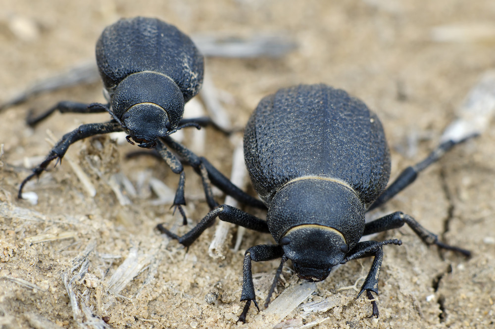 namib desert beetles