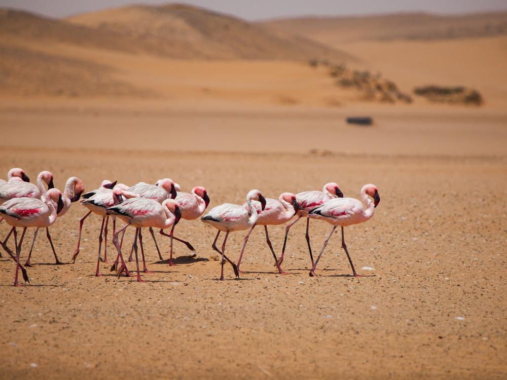 namib desert flamingos