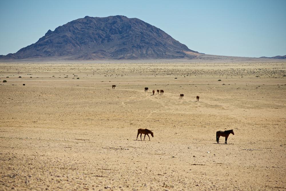 namib wild horses