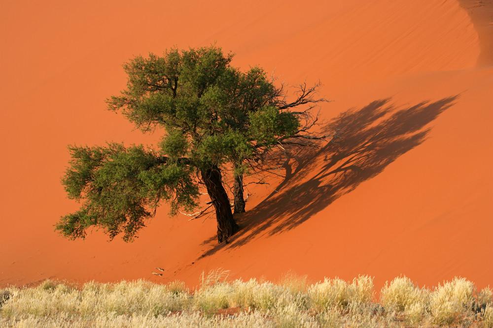 namibia acacia