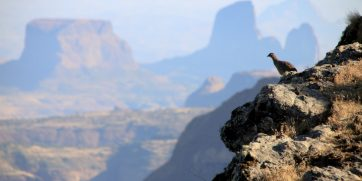 simien mountains bird