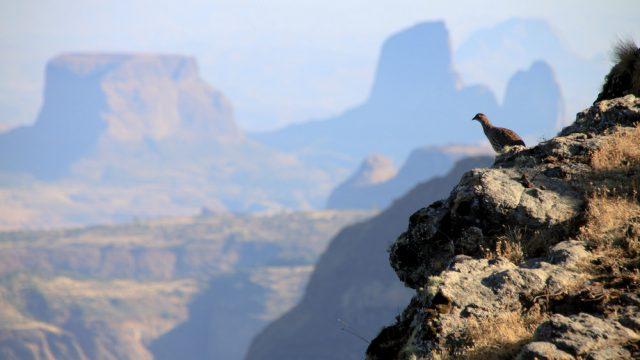 simien mountains bird