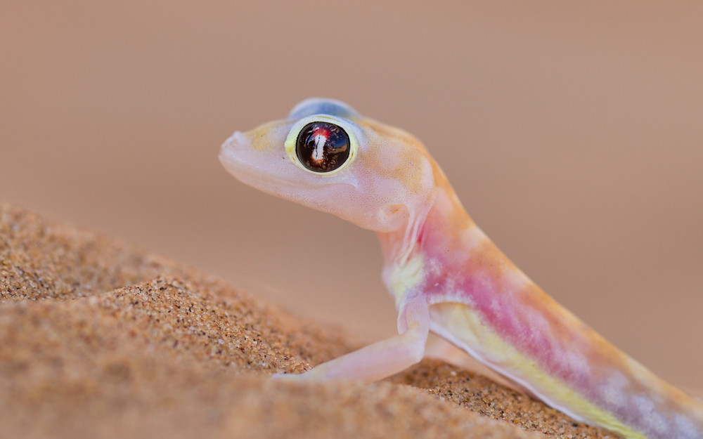 web footed gecko palmatogecko