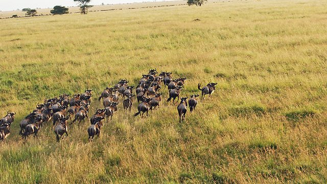 The Wildebeest Migration In The Serengeti in Tanzania