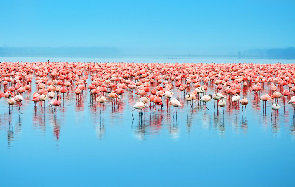 Image result for Flamingos, Kenya