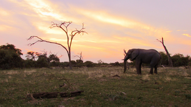 Savuti Elephant (Photo by Bridget Williamson)