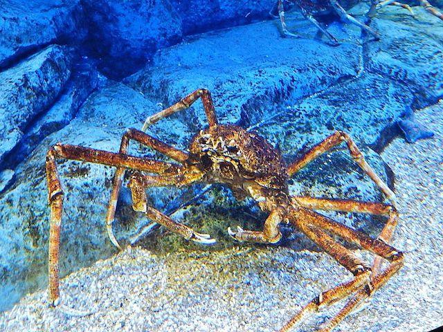 Giant_Spider_Crab in Pontinha cape verde scuba diving
