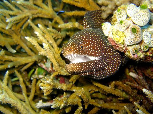 Moray_eel cape verde scuba diving