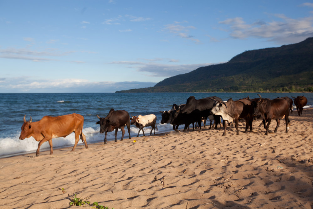 cattle lake malawi
