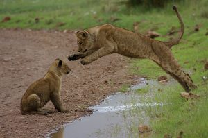 cubs jumping over water