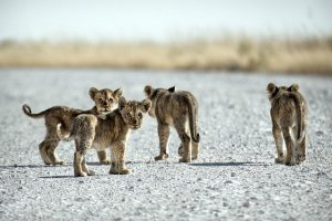 Cubs in Namibia