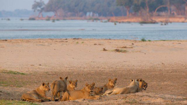lions zambezi