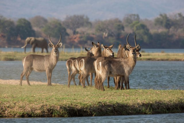 waterbuck on zambezi river