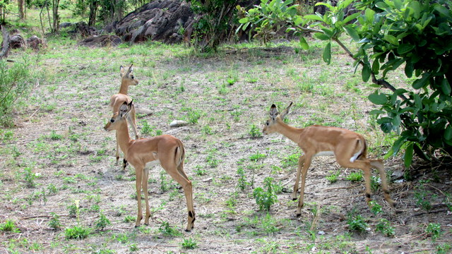 Three young Impala (Photo by Bridget Williamson)