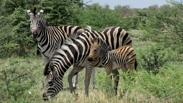 Young Zebra and parents (Photo cred Bridget Williamson)