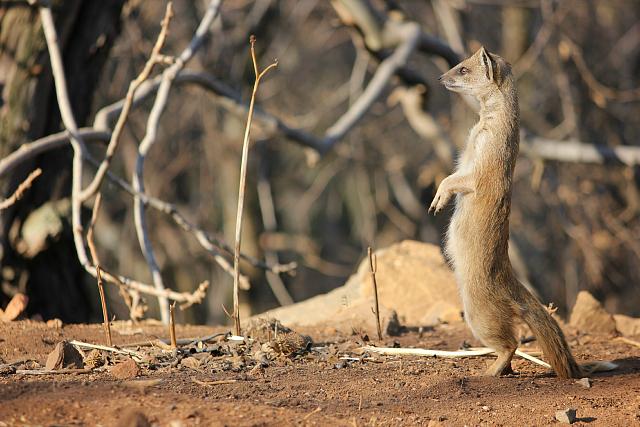 Klipriviersberg mongoose