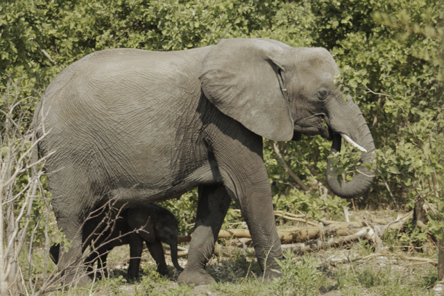 Baby Elephant and mom (Photo by Bridget Williamson)