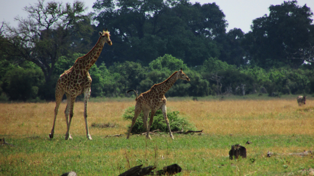 Young giraffe and mom (Photo by Bridget Williamson)