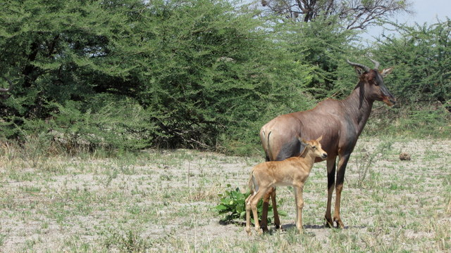 Young Tsessebe and mom (Photo by Bridget Williamson)