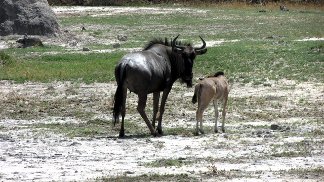 Young Wildebeest and mom (Photo by Bridget Williamson)