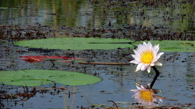okavango delta lily
