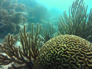 Brain coral in Blue Bay Marine Park, Mauritius
