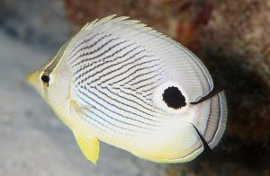 Butterfly fish on the west coast of Mauritius
