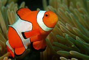Clown fish on the north coast of Mauritius