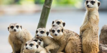 How to see meerkats in South Africa