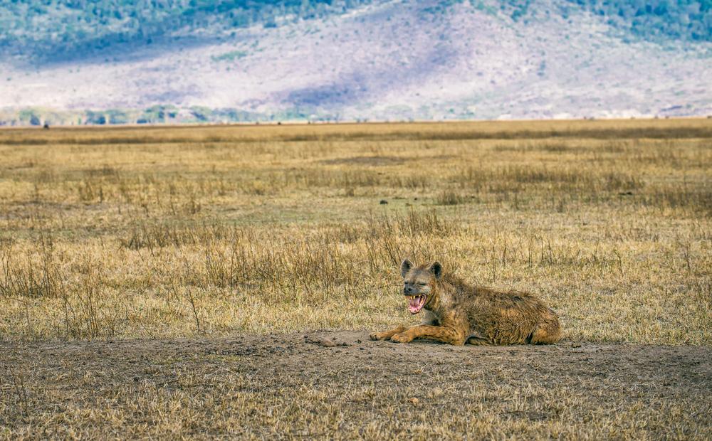 hyena ngorongoro