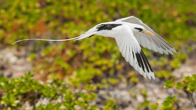 mauritius bird small