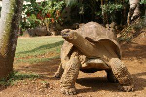 mauritius tortoise