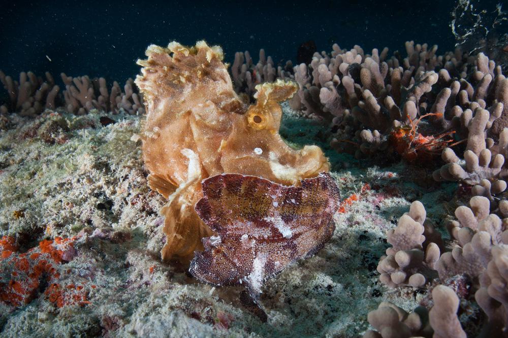 scorpion fish in mauritius