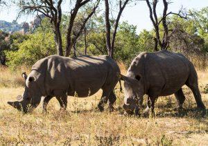 Matobo rhinos