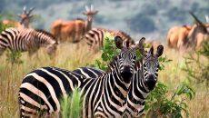 rwanda zebra